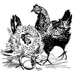 Scott Fore Cluck Old Hen profile picture