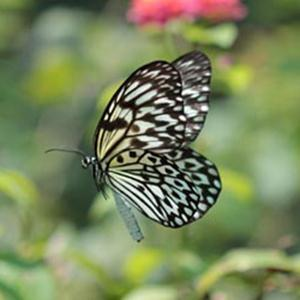 Traditional Filipino Folk Song Paruparong Bukid (The Butterfly Field) profile picture